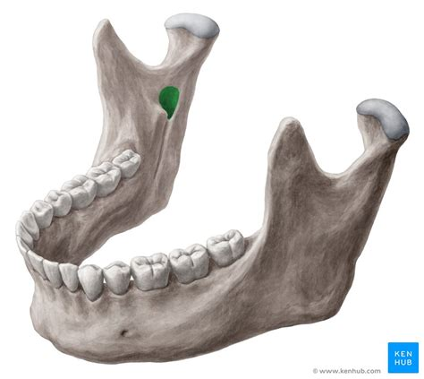 Mandibular foramen: Anatomy and contents | Kenhub