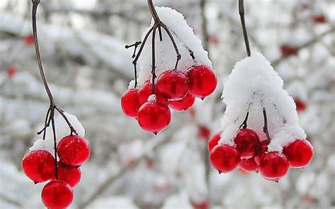 Nature winter first snow red berries fruits cranberry r