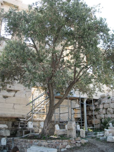 File:Athena's Olive tree, Greece, Acropolis, The Parthenon