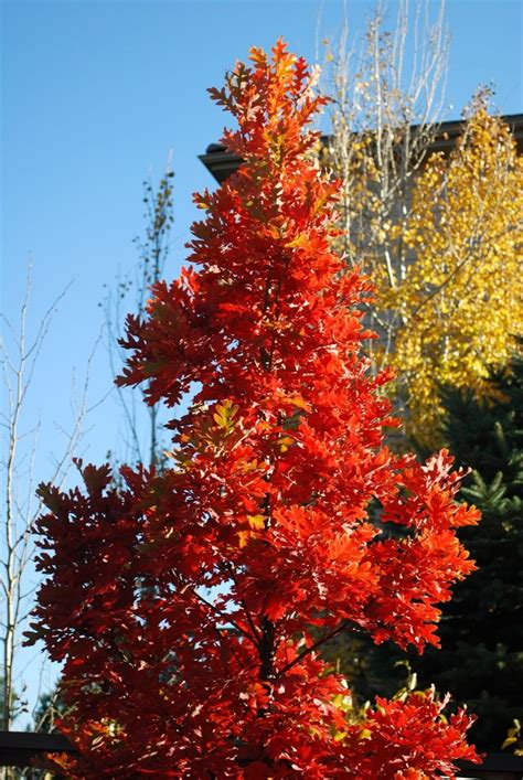 Crimson Fire Oak Tree, also tall and narrow but with more