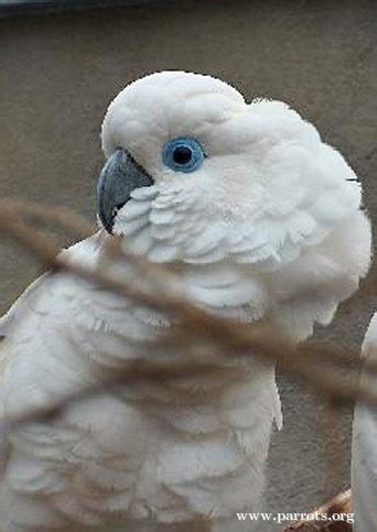 Parrot Encyclopedia | Blue-eyed Cockatoo | World Parrot Trust
