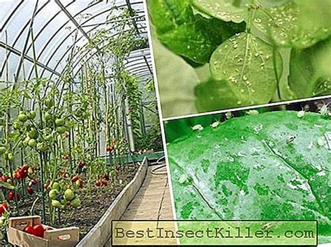 How to get rid of aphids in a greenhouse - Aphid - 2020