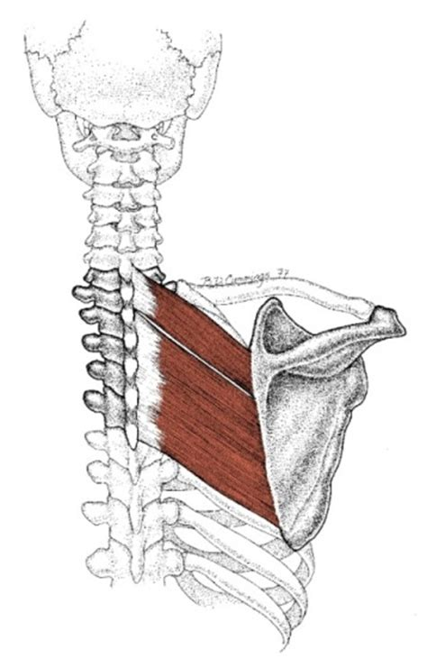 Rhomboid Major and Minor Trigger Points | GUStrength's Blog
