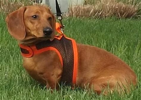 Dog for adoption - Henry, a Dachshund in Lebanon, OH